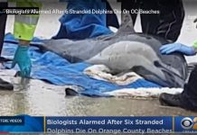 Experts On High Alert After Dead, Sick Dolphins Wash Ashore On Calif. Coastline