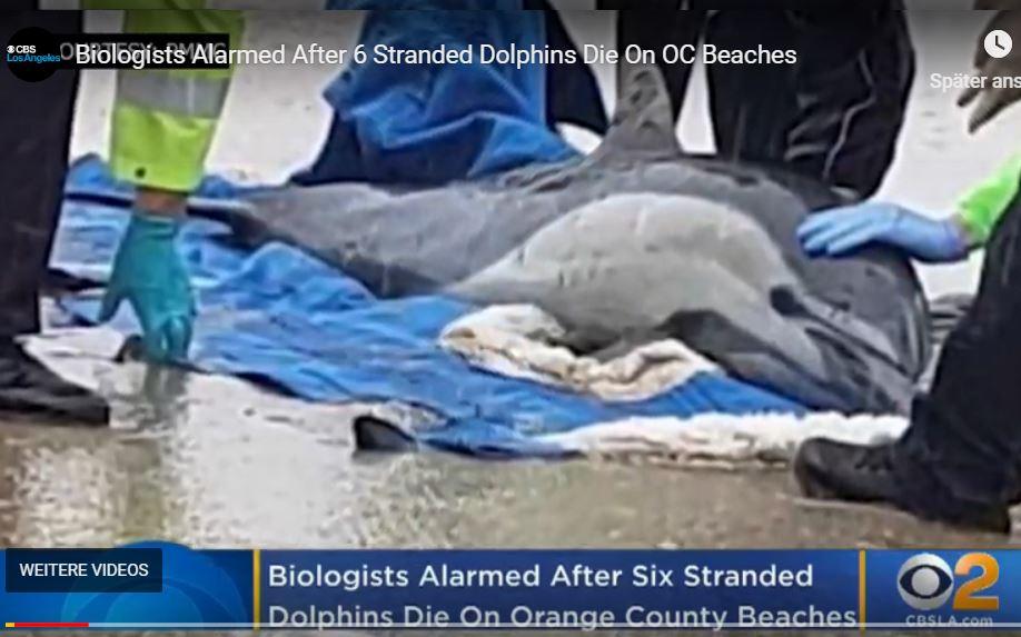 Experts On High Alert After Dead, Sick Dolphins Wash Ashore On Calif. Coastline
