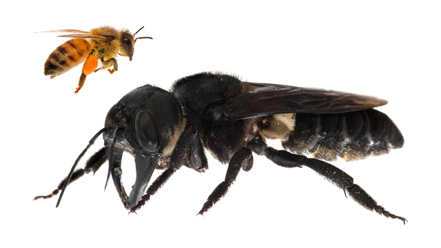 giant bee indonesia, giant bee indonesia picture, giant bee indonesia alive, largest bee found alive in indonesia