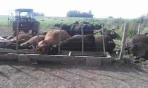 heat wave kills animals argentina uruguay ola de calor animales sin vida