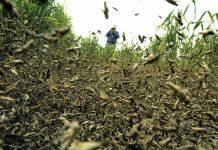 locust swarm 2019
