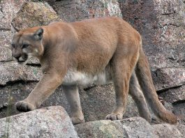 mountain lion colorado killed by runner
