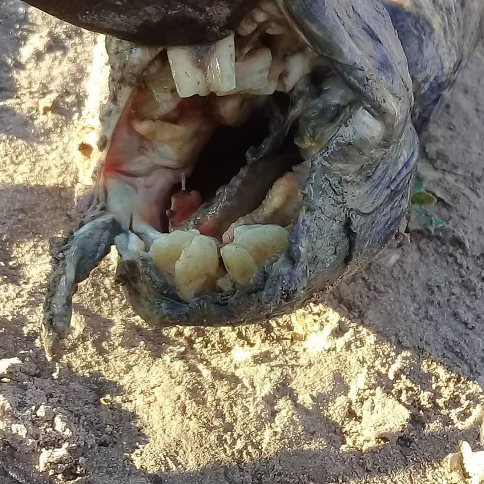 Strange fish with human-like teeth discovered in Argentina, Strange fish with human-like teeth discovered in Argentina pictures, Strange fish with human-like teeth discovered in Argentina video