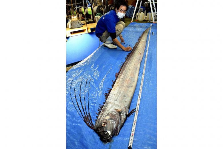 oarfish japan, oarfish japan pictures, oarfish japan 2019, oarfish japan february 2019