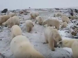 polar bear invasion russia, polar bear invasion russia video, polar bear invasion russia picture, polar bear invasion russia february 2019