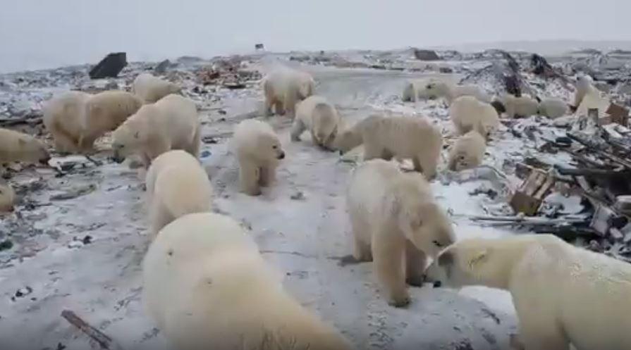 polar bear invasion russia, polar bear invasion russia video, polar bear invasion russia picture, polar bear invasion russia february 2019