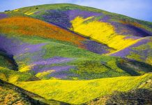 california superbloom 2019, california superbloom 2019 pictures, california superbloom 2019 video