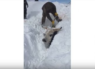 cattle buried snow south dakota video, cattle buried snow south dakota video march 2019