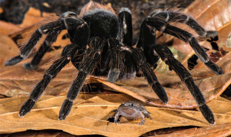 tarantula eats opossum amazon, tarantula eats opossum amazon forest, tarantula eats opossum amazon peru, tarantula eats opossum amazon forest peru, tarantula eats opossum amazon video, tarantula eats opossum amazon march 2019