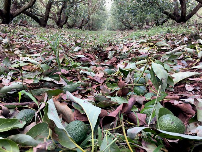 It is estimated around 200,000 trays of avocados, approximately 4 million pieces of fruit, were destroyed by the hail storm.