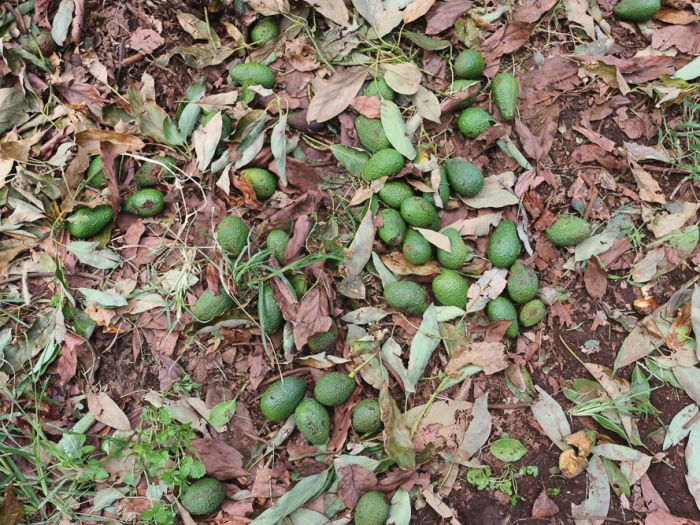 Hail storm smashes 4 million avocados in under 10 minutes in Australia