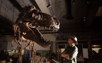 Paleontologists discover 'Scotty,' the world's largest T. rex fossil: 'The rex of rexes'