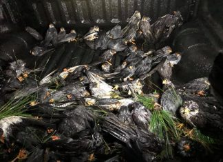 Falcon Tragedy: Hundreds of Birds Die as Massive Hail Storm Hits Newcastle Overnight