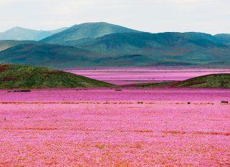 atacama desert flowers chile 2019, atacama desert flowers chile 2019 pictures, atacama desert flowers chile 2019 video, Flowering desert or desierto florido in Atacama desert, desierto florido chile