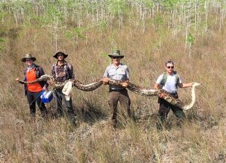 Record 17-foot female python caught in South Florida, Record 17-foot female python caught in South Florida video, Record 17-foot female python caught in South Florida picture