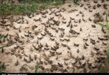 iran locust plague, locust plague video, iran locust plague video, iran locust plague april 2019