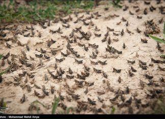 iran locust plague, locust plague video, iran locust plague video, iran locust plague april 2019