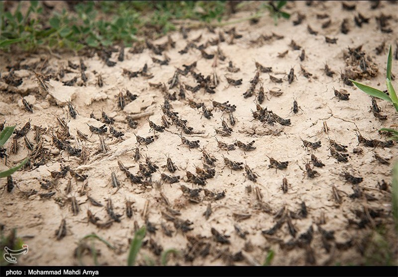 Iran is facing the worst locust attack in the past 40 years: Biblical invasion threatens crops and food security