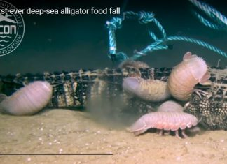Deep sea isopods eat alligators, Deep sea isopods eat alligators video, Deep sea isopods eat alligators picture