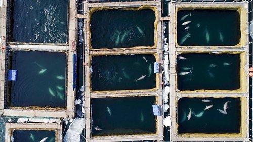 whale jail russia, whale jail russia video, whale jail russia pictures, whale prison russia
