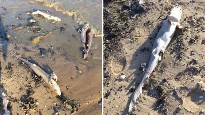 100 dead sharks wales, 100 dead sharks wales video, 100 dead sharks wales pictures, 100 dead sharks wales may 2019, 100 dead sharks wales burry port