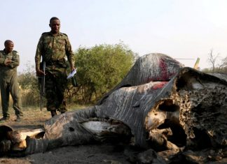 Botswana condemned for lifting ban on hunting elephants. The country with Africa's largest elephant population says its growth is affecting farmers