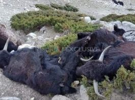 dead yaks sikkim india
