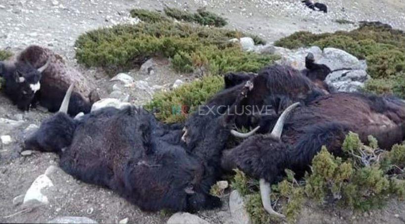 dead yaks sikkim india