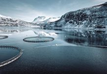 eight million salmon killed norway farm