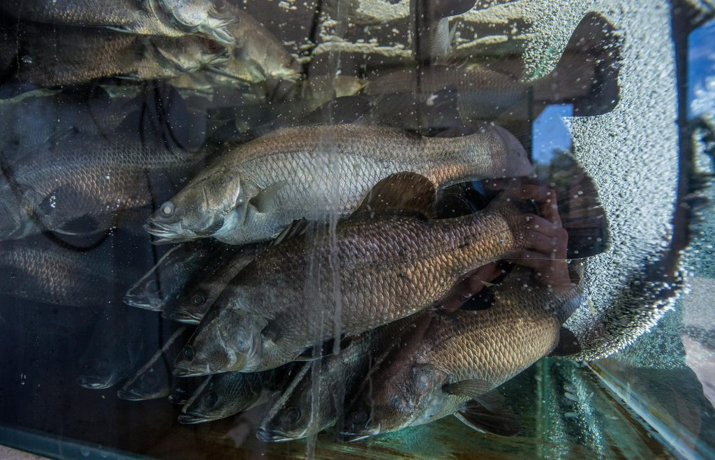 eight million salmon killed norway farm in a week algae