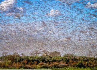 saudi arabia locust invasion 2019, video, saudi arabia locust invasion 2019 pictures, Swarm of millions of locusts turn the sky black as they invade Saudi Arabia city
