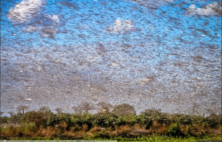 saudi arabia locust invasion 2019, video, saudi arabia locust invasion 2019 pictures, Swarm of millions of locusts turn the sky black as they invade Saudi Arabia city