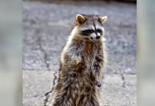 zombie raccoon, zombie raccoon chicago, zombie raccoon video, zombie raccoon photo, zombie raccoon may 2019
