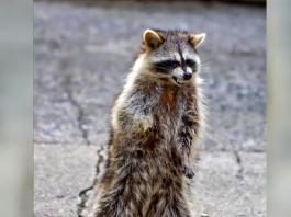 zombie raccoon, zombie raccoon chicago, zombie raccoon video, zombie raccoon photo, zombie raccoon may 2019