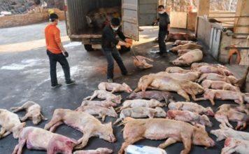 swine fever, african swine fever african swine fever chine, african swine fever world