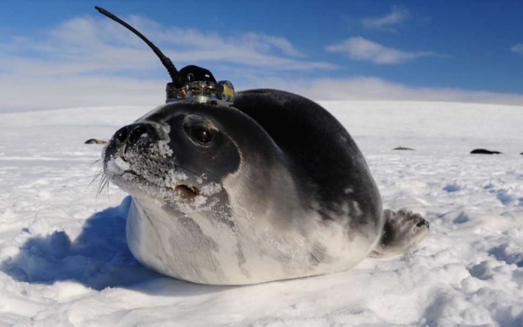 Elephant seals helped scientists to solve the mystery behind Antarctica giant holes Polynya)