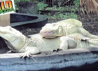 florida albino alligator eggs, two albino alligators get world's first eggs in FloridaSnowflake and Blizzard produce world's first batch of 19 albino alligator eggs at Wild Florida