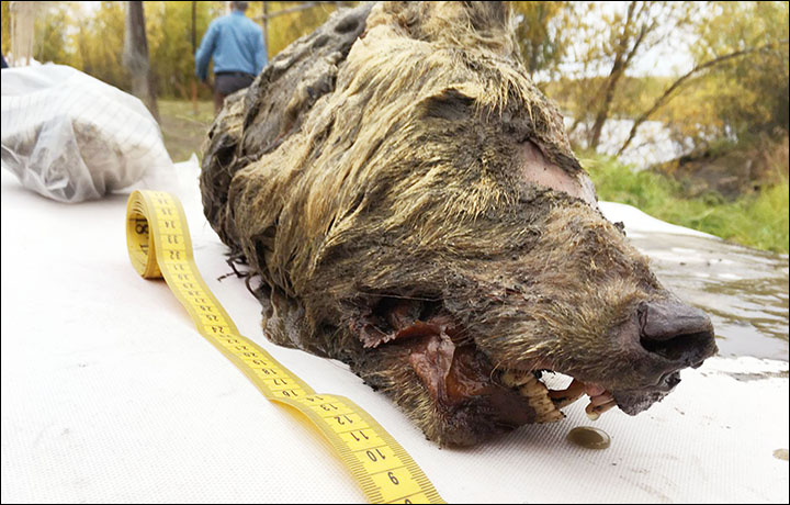 Giant wolf from Pleistocene discovered in Siberia, Giant wolf from Pleistocene discovered in Siberia video, Giant wolf from Pleistocene discovered in Siberia pictures, Pleistocene wolf head