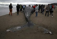 gray whale mass die-off US west coast, gray whale mass die-off US west coast video, gray whale mass die-off US west coast news, gray whale mass die-off US west coast 2019