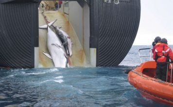 japan commercial whaling starts july 2019 after 30 years break