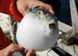 mixing cocaine and pufferfish fugu bad