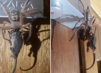 spider eats possum, spider eats possum video, Huge huntsman spider eats entire possum in Australia