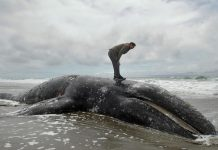 usa gray whale mass die-off landowner
