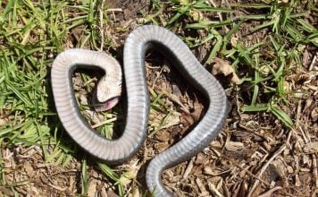 zombie snake, zombie snake usa, zombie snake usa video, zombie snake usa pictures, The hog-nose snake fakes its own death aka zombie snake