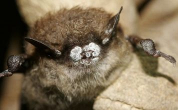 A deadly fungus is killing millions of bats in the U.S. Now it's in California, A deadly fungus is killing millions of bats in the U.S. Now it's in California video, A deadly fungus is killing millions of bats in the U.S. Now it's in California pictures, A deadly fungus is killing millions of bats in the U.S. Now it's in California update, A deadly fungus is killing millions of bats in the U.S. Now it's in California news