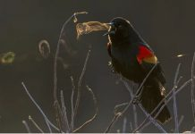 bird blows smoke ring, bird blows smoke ring picture, bird blows vapor ring, bird blows smoke ring audubon