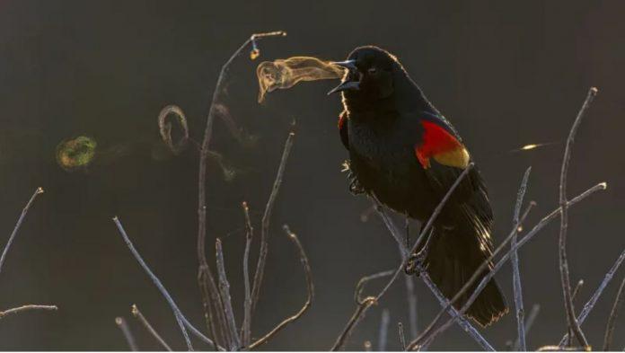 bird blows smoke ring, bird blows smoke ring picture, bird blows vapor ring, bird blows smoke ring audubon