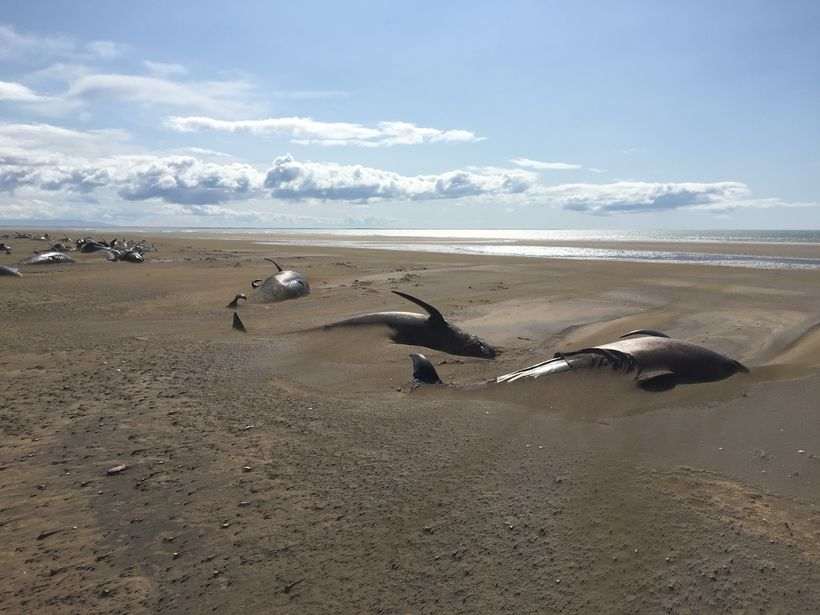 dead whales iceland, iceland whale mass die-off, iceland whale mass die-off picture, iceland whale mass die-off video, Dozens of dead whales were found on a remote beach in Iceland