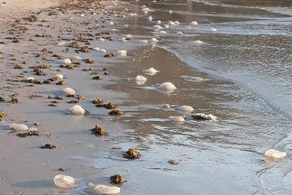 Israel jellyfish invasion, jellyfish invasion israel, jellyfish invasion israel video, jellyfish invasion israel july 2019, jellyfish invasion israel pictures
