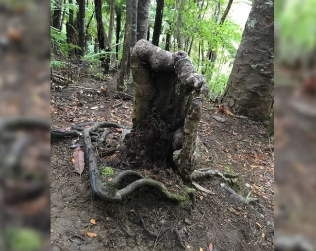 Strange forest 'superorganism' ss keeping this Vampire tree alive, superorganism vampire tree